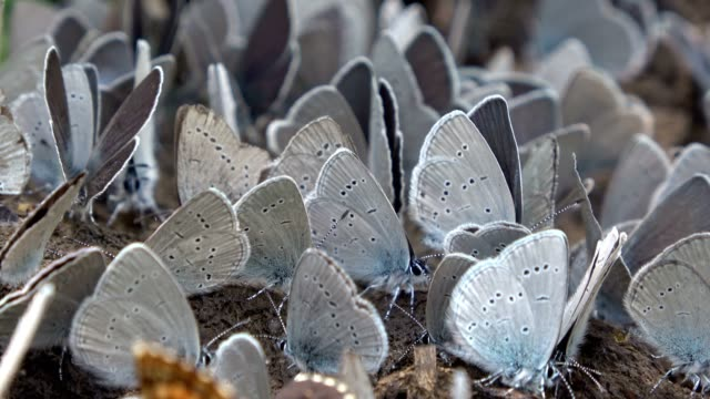 Bläuling, Polyommatus icarus, insects, butterflies eating mineral from cow dung, video