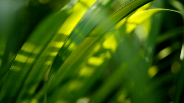 blur tropical green palm leaf with sun light, abstract natural background with bokeh. defocused lush foliage - obficie ulistniony filmów i materiałów b-roll