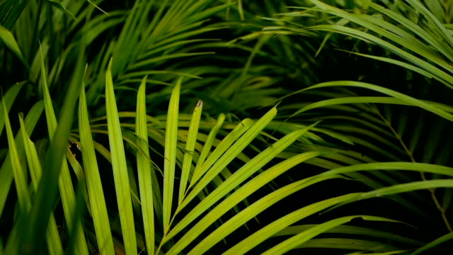 blur tropical green palm leaf with sun light, abstract natural background with bokeh. defocused lush foliage, veines, striped exotic fresh juicy leaves in shadow. ecology, summer and vacation concept. - motivo tropicale video stock e b–roll