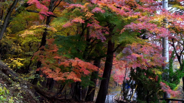 Blurred slow motion of falling red maple leaves blowing in the wind. Maple tree branches swaying in autumn wind. Beautiful nature in autumn, season change concept and environmental conservation concept.