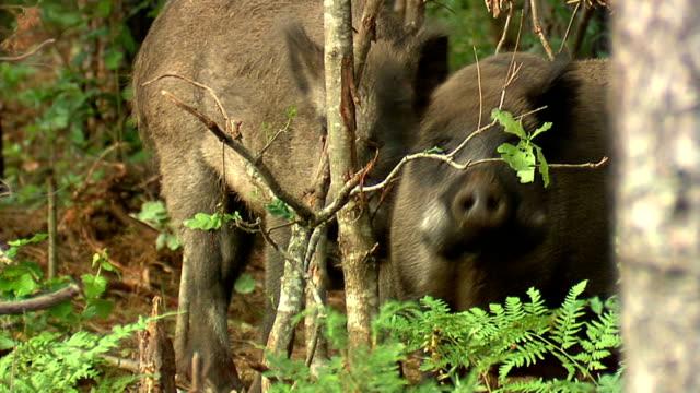 猪お食事の葉 - ブタ点の映像素材/bロール