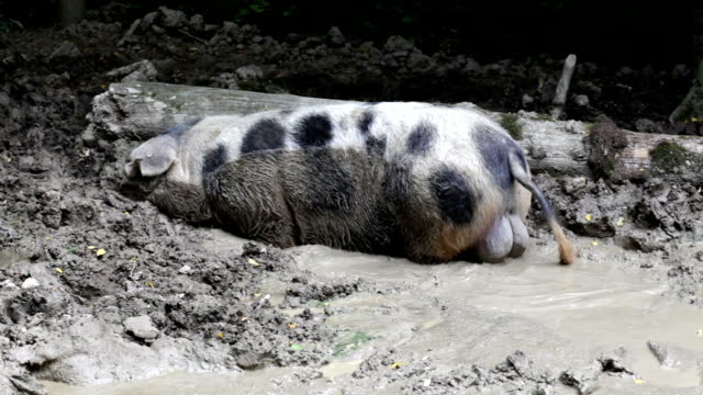 Boar in the mud video