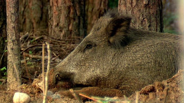 Boar rests video