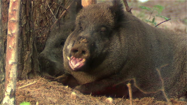 Boar yawning Boar yawning mouth open stock videos & royalty-free footage