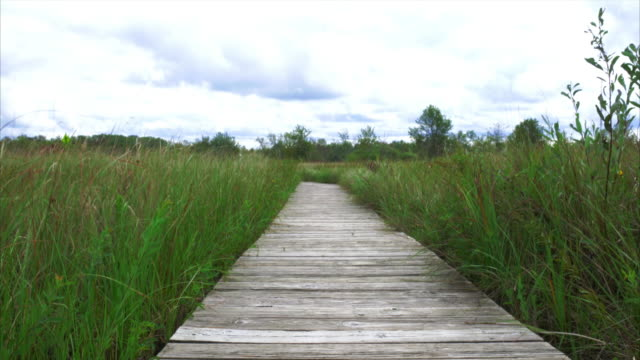 Boardwalk through prairie with green grasses blowing in the wind