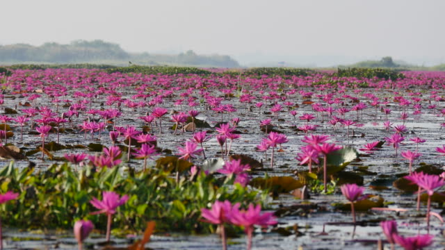 Boat trip at pink lotus lake, Udon Thani Province, Thailand. Boat trip at pink lotus lake, Udon Thani Province, Thailand. lotus position stock videos & royalty-free footage