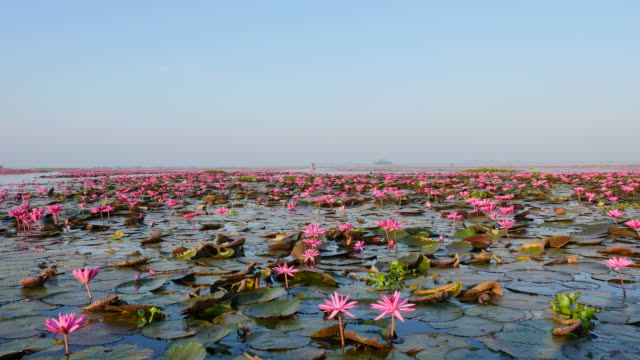 Boat trip at pink lotus lake, Udon Thani Province, Thailand. video