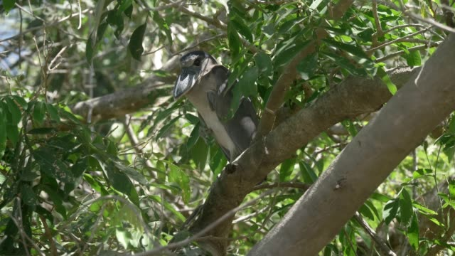 Boat-Billed Heron in a Costa Rica rainforest. video