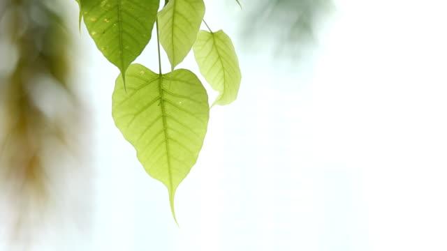 vidéos et rushes de les îles de bodhi feuilles fait venir par le vent - nervure