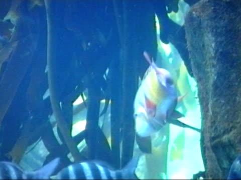 Boeseman's Rainbow Fish - Melanotaenia boesemani Boeseman's Rainbow fish in an aquarium showing off its brilliant colours in yellow, black and blue. aquatic organism stock videos & royalty-free footage