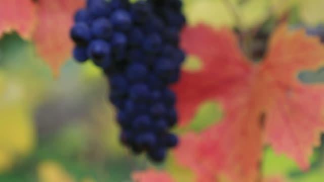 Bokeh into focus video of grapes on grapevine plants autumn season1080p HD USA video