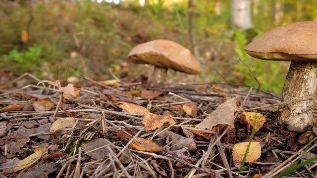 Boletus mushroom in autumn forest close up.