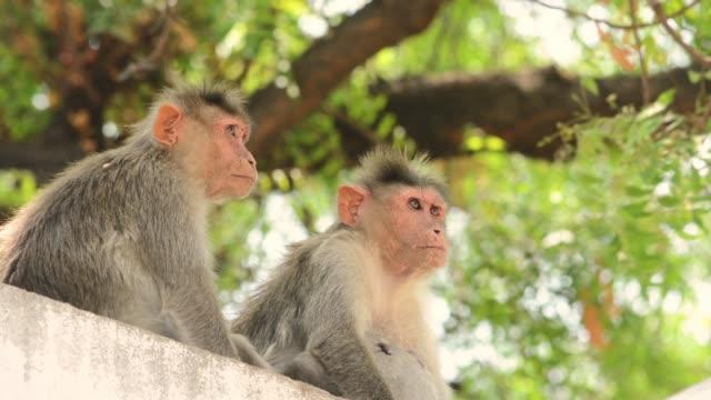 bonnet monkeys enjoying the cool breeze on top of the house - reso video stock e b–roll