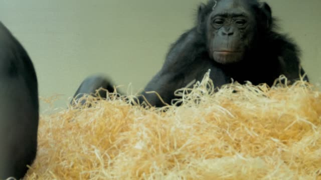 Bonobo surrounded by hay video