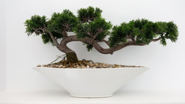 Bonsai Tree - Home Decor