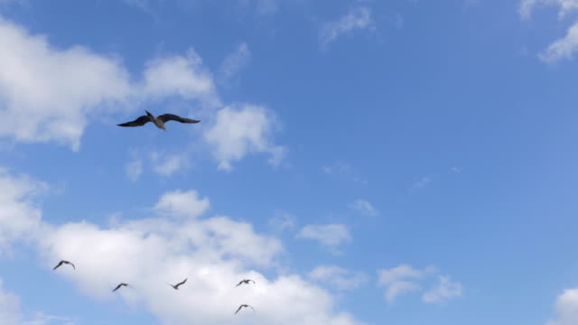 vídeos de stock, filmes e b-roll de atobá voando no céu, no oceano pacífico - atobá