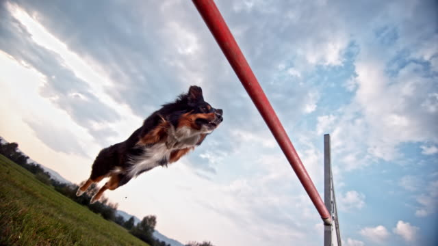 SLO MO Border Collie dog doing as perfect hurdle jump Slow motion close up low angle shot of a Border Collie doing an agility jump over a hurdle in the meadow. purebred dog stock videos & royalty-free footage