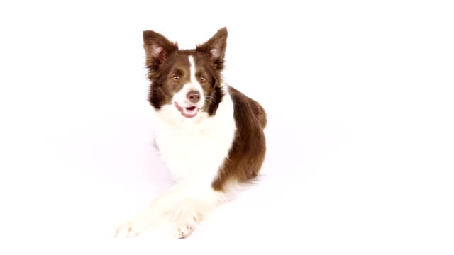 border collie dog lying on white background - border collie video stock e b–roll