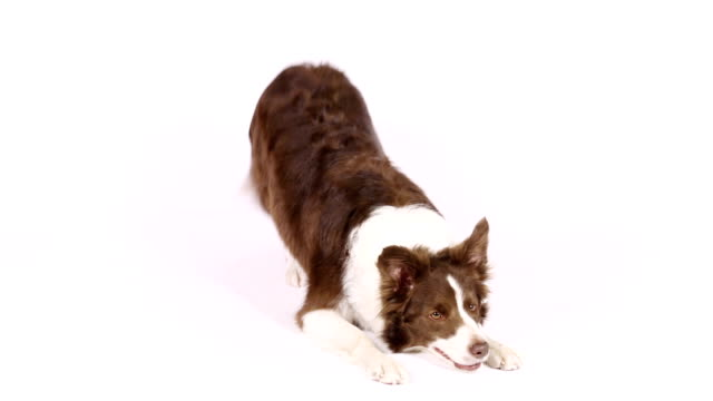 "border collie dog performs the command "" bow "" - border collie video stock e b–roll"