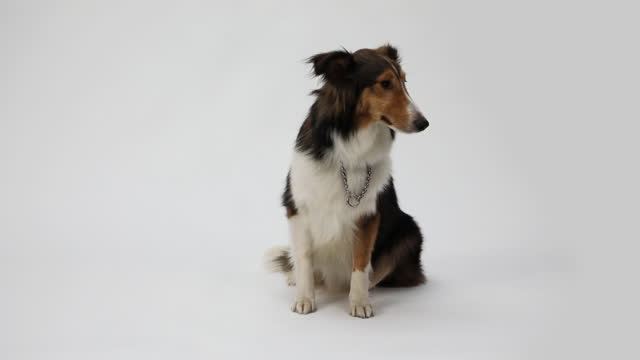 border collie dog, photographed on white background