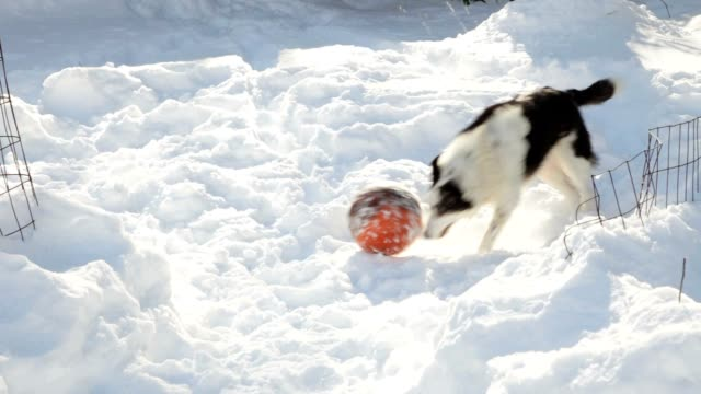 Border Collie Dog Playing Ball in Snow (Video) video