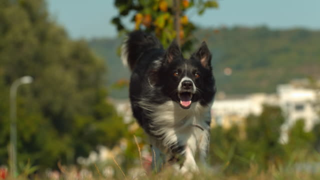 border collie dog running, ultra slow motion - border collie video stock e b–roll