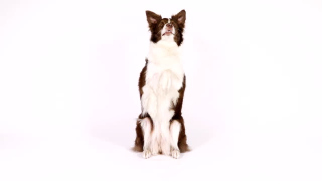 border collie dog sitting up on her hind legs and begging - border collie video stock e b–roll
