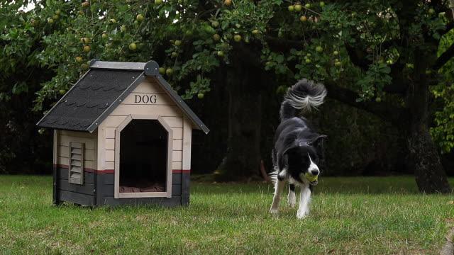 border collie hund zu fuß auf dem rasen, spielen ball, hundehütte, slow-motion - käfig stock-videos und b-roll-filmmaterial