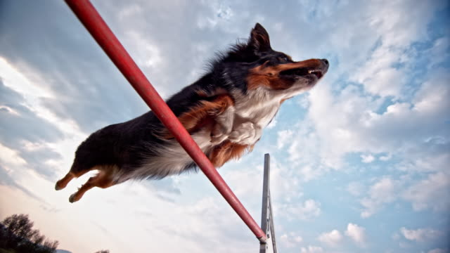 SLO MO Border Collie jumping a hurdle Slow motion close up low angle shot of a Border Collie jumping over a hurdle on the grass. jumping stock videos & royalty-free footage