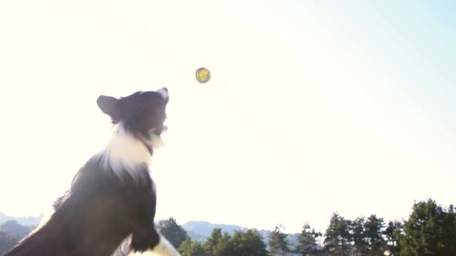 SLO MO Border Collie jumping to catch a ball video