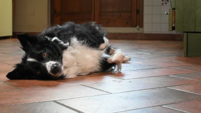 border collie puppy sits upside down at home. - border collie video stock e b–roll