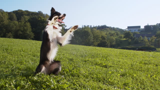 Border Collie rearing up and rolling on the grass video