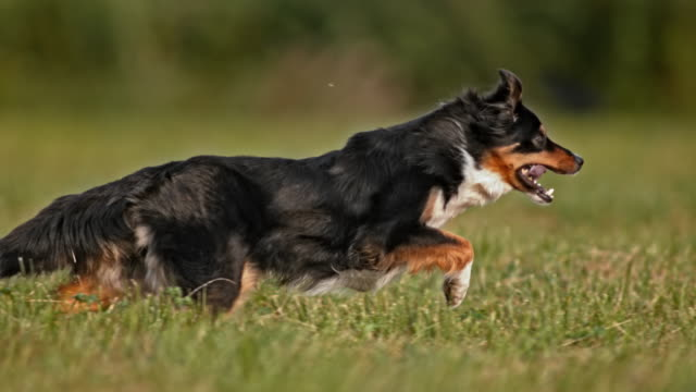 slo mo ts border collie running in meadow - border collie video stock e b–roll