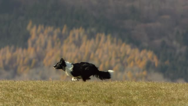 border collie running on the lawn - border collie video stock e b–roll
