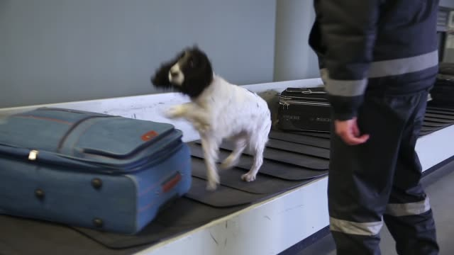 Border dog on a conveyor belt at the airport video