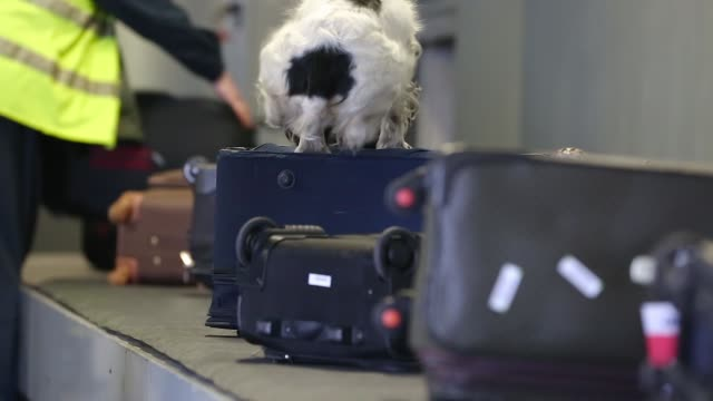border dog searches for drugs in baggage - narcotico video stock e b–roll