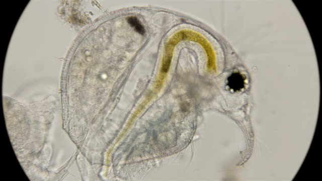 Bosmina Water Flea Under A Microscope Stock Video More Clips Of