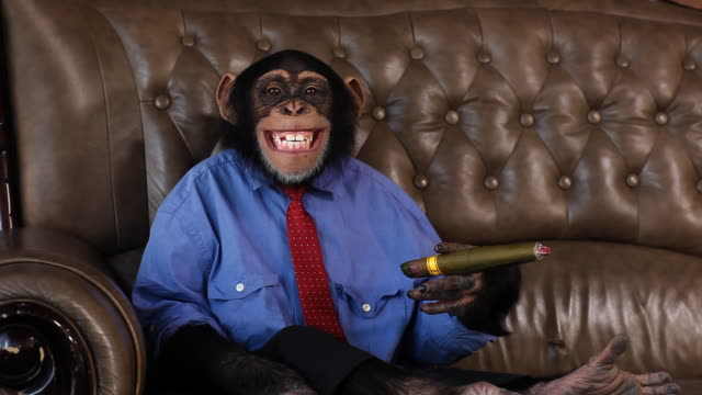 borchia chimp sigaro sorriso - primate video stock e b–roll