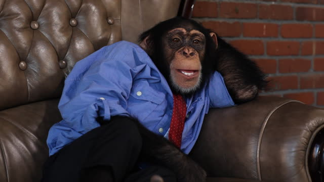 stockvideo's en b-roll-footage met boss chimp relaxing - mensaap