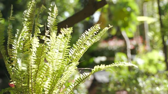 Boston or sword fern plant pot