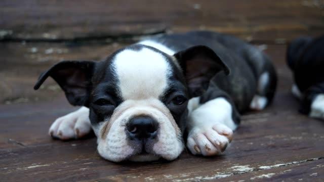 boston puppy dogs sleeping on wood table.