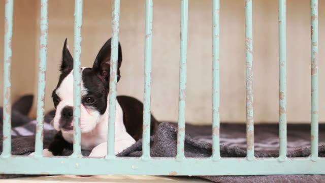 Boston Terrier behind bars video