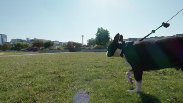 boston terrier an der leine am seattle stadtpark - hundesitter stock-videos und b-roll-filmmaterial
