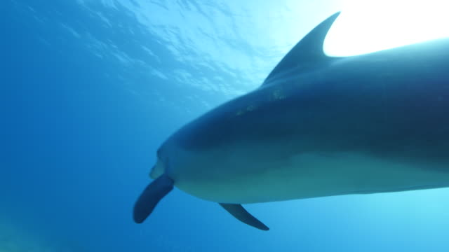 bottlenose dolphin bottlenose dolphin swimming dolphin stock videos & royalty-free footage