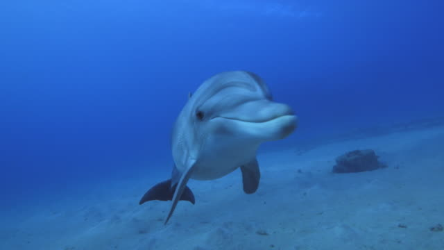 bottlenose dolphins dolphin swimming dolphin stock videos & royalty-free footage