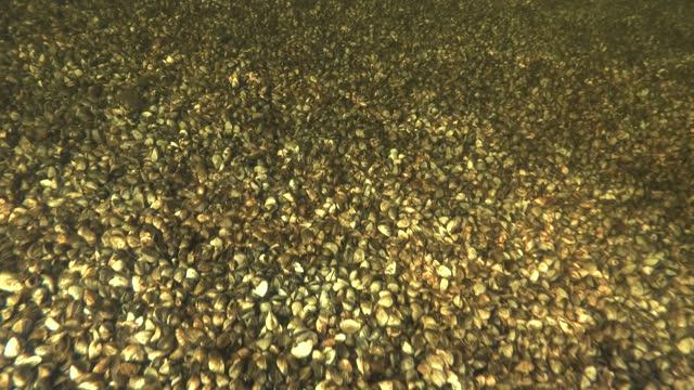 fondo completamente ricoperto di molluschi di cozze zebra. fotocamera che avanza sul botom ricoperto di molluschi bivalvi cozze zebrate (dreissena polymorpha) - acqua dolce video stock e b–roll