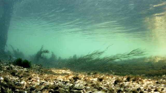 Bottom of a Fresh Water River with Mussels video