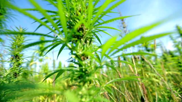 HD: Bottom up close shot of cannabis plant HD1920x1080: High quality produced HD Stock Footage Clip of Industrial cannabis field and single hemp plants shots  from different angles while shaking in the wind on a sunny day near the roadside. hashish stock videos & royalty-free footage
