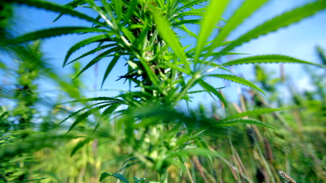HD: Bottom up shot of hemp plant HD1920x1080: High quality produced HD Stock Footage Clip of Industrial cannabis field and single hemp plants shots  from different angles while shaking in the wind on a sunny day near the roadside. hashish stock videos & royalty-free footage