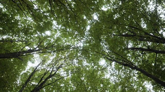 bottom up view of lush green foliage of trees. bewegen sie kamera untere ansicht des himmels durch hohen stamm laub bäume in grünwald in der natur. schöne wald szene natur hintergrund. dunkle gruselige wald. - kieferngewächse stock-videos und b-roll-filmmaterial